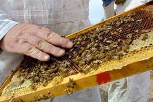 Мёд может смягчать и заживлять лёгкие и умеренной степени ожоги.  Фото: David Silverman/Getty Images
