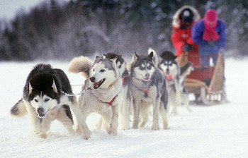 В камчатском поселке Оссора финишировала самая протяженная в Евразии гонка на собачьих упряжках