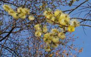 В месяце марте природа только пробуждается: в это время распускается верба. Фото: Алла ХЕГАЙ/Великая Эпоха
