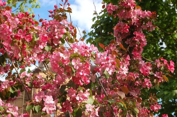 Санкт-Петербург. Китайский садик с цветущими деревьями сливы. Фото: Ирина ОШИРОВА/Великая Эпоха