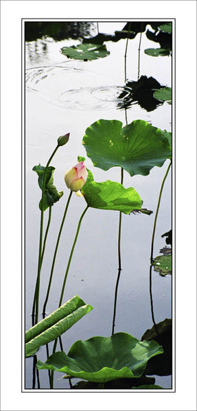 «Лотос». Автор: Ко Чэнь Чэнь из Тайваня