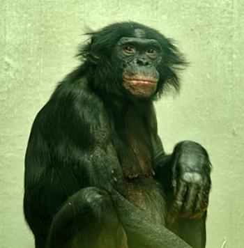 «Человек произошел от обезьяны». Сегодня это знает каждый ребенок. Идея Дарвина, собственно, только одна из многих теоретических возможностей приблизиться к тому, что мы не можем доказать, проявилась как догма в наших головах и вошла во все учебники. Пересмотреть такое заезженное представление по-новому и разработать новые предположения неизбежно наталкивается на сопротивление, потому что предполагает с самого начала пересмотреть и по-новому истолковывать целостную картину мира. Фото: Ernst Rose /pixelio.de
