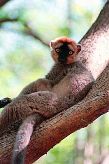 Находящийся под угрозой исчезновения, красный лемур Eulemur rufus отдыхает на ветке дерева в заповеднике Беренти (небольшой лесной массив посреди пустыни в южном Мадагаскаре). Фото: Ян Якилек /Великая Эпоха