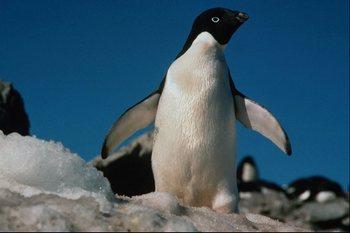 Антарктида – страна пингвинов. Фото из архива автора