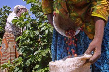 Заготовки Кофе в Кении. Розничная продажа товаров Fairtrade, таких как чай, кофе и шоколад сохранили свою привлекательность для потребительского поиска экологически безопасных и этических товаров. Фото: Tony Karumba /AFP /Getty Images