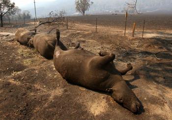 Мертвый рогатый скот по дороге к городку Меррисвилл, полностью выгоревшему после кустарниковых пожаров. Приблизительно в 100 километрах к северо-востоку от Мельбурна 9 февраля 2009 г.. Фото: WILLIAM WEST/AFP/Getty Images