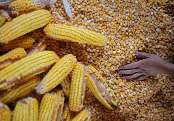 Кукуруза не была признана ГМО. Фото: Getty Images