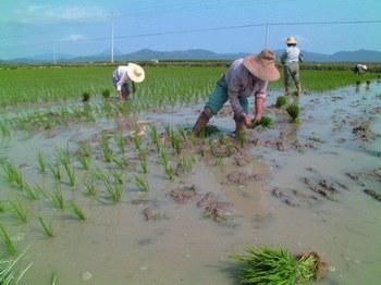 В Китае может начаться массовое производство генетически модифицированного риса. Фото: sciencenet.cn