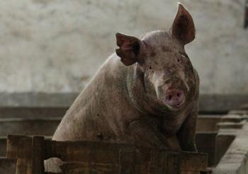 В 19 деревнях провинции Чжэцзян от чумы умерли все свиньи. Фото: China Photos/Getty Images В 19 деревнях провинции Чжэцзян от чумы умерли все свиньи. Фото: China Photos/Getty Images