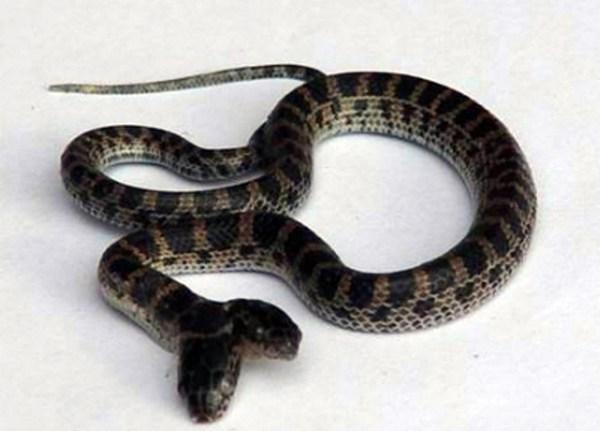 Змея с двумя головами. Фото: ЦАН