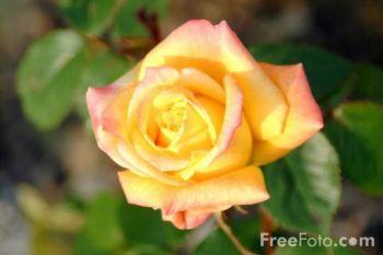 Лепестки роз могут быть использованы для снятия стресса.  Фото: Freefoto.com
