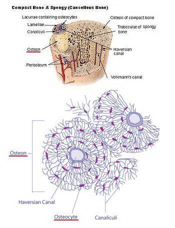 Пусть работают остеобласты!. Схематическое изображение кости и ее структурного элемента - остеона.Фото: http://dic.academic.ru/