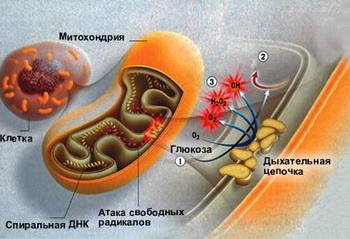 Свободные радикалы в теле человека представлены активными формами кислорода, которые являются побочными продуктами процессов, протекающих в митохондриях. Фото: lenta.ru