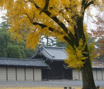 В Японии дерево часто сажают около храмов и гробниц. Фото: Kaz Chiba/Getty Images