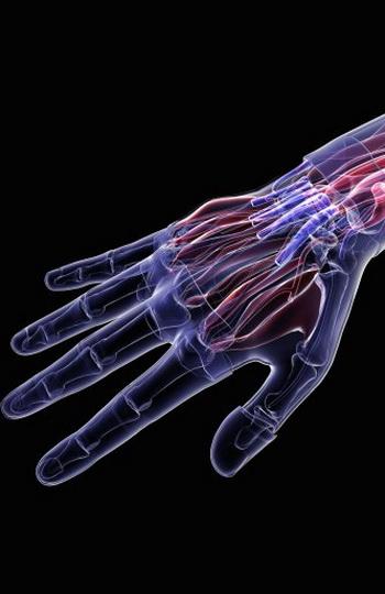 Регенерационные возможности тканей находятся в зависимости от сложности выполняемых функций и специализированности. Фото 3D4Medical.com /Getty Images