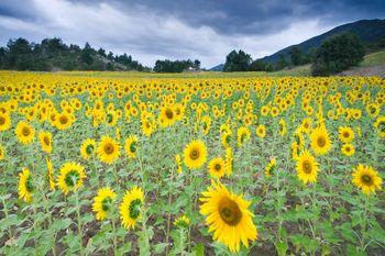 Подсолнечное поле. Фото: с сайта photos.com