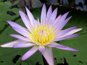 Лотос - символ совершенствования. Фото с secretchina.com