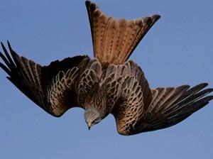 Особенные отличия: для красного коршуна характерны вилкообразый хвост красно-коричневого цвета  сверху и светло-серая с черными штрихами голова. Фото: Alan Saunders