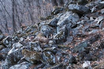 Амурский леопард. Ужин при сумерках. Фото с сайта epochtimes.de