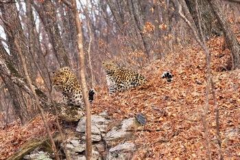 Амурский леопард. Шуршащие игры в листве. Фото с сайта epochtimes.de