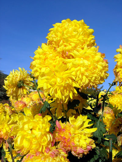 Крым. «Бал хризантем» в декабре. Сорт Snowdown yellow. Фото: Алла Лавриненко/Великая Эпоха (The Epoch Times)