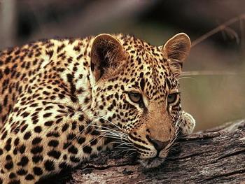 Газпром хочет проложить газопровод по местам обитания дальневосточного леопарда с нарушением закона. Фото с volcity.ru