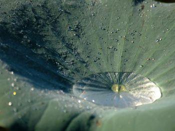 Волоски на листе лотоса предохраняют цветок от загрязнения. Фото:(Ван Цзийи/Великая Эпоха)
