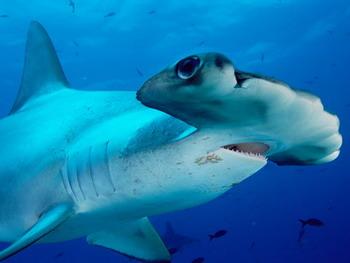 Акула-молот. Фото:fantom-xp.com/ru