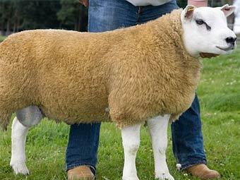Проданный в Шотландии баран. Фото с dailymail.co.uk