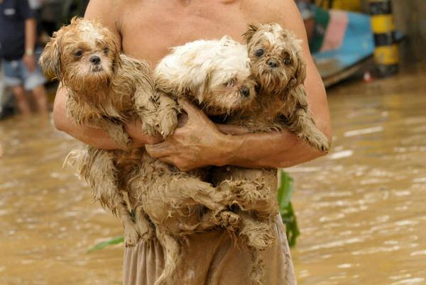 Мужчина спасает маленьких собачек в Маниле (27.09.2009). Фото: JAY DIRECTO/AFP/Getty