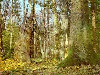 Беловежская пуща. Фото: с сайта  bp21.org.by