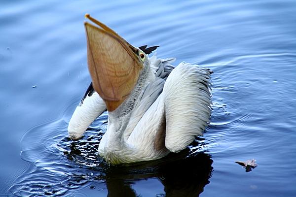 Шри-Ланка. Пеликан проглатывает рыбу. Фото: Сима Петрова/Великая Эпоха (The Epoch Times)