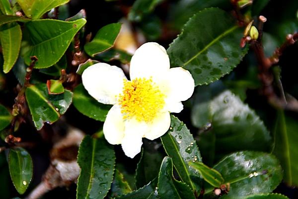 Шри-Ланка. Чайный цветок. Фото: Сима Петрова/Великая Эпоха (The Epoch Times)