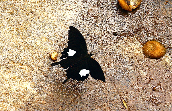 Шри-Ланка. Бабочка не менее 5 см. Фото: Сима Петрова/Великая Эпоха (The Epoch Times)