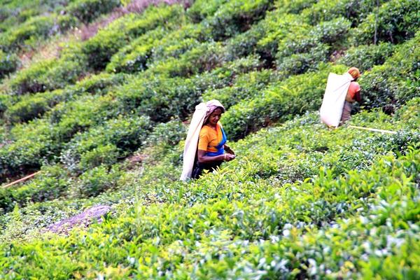 Шри-Ланка. Сбор чая. Фото: Сима Петрова/Великая Эпоха (The Epoch Times)