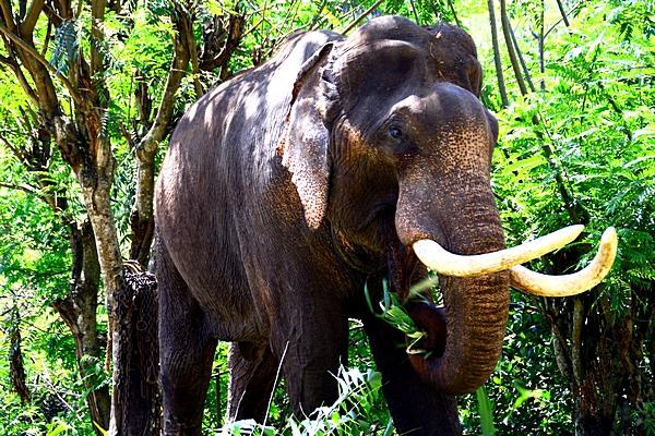Шри-Ланка. Слон. Фото: Сима Петрова/Великая Эпоха (The Epoch Times)