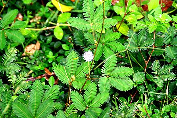 Шри-Ланка. Это маленькое растение называется «Не трогай меня». От прикосновения к листьям они сворачиваются. Фото: Сима Петрова/Великая Эпоха (The Epoch Times)