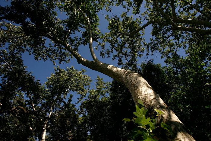 Европейским деревом года стал 250-летний платан в Венгрии. Фото: David McNew/Getty Images