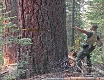 Марк Свенсон из Университета штата Вашингтон измеряет ствол сахарной сосны диаметром 1,2 м — одного из 34500 живых деревьев, пересчитанных и помеченных для долгосрочного исследования на опытном участке национального парка Йосемити. Фото: Washington State University