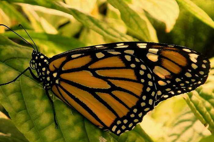 Численность популяции бабочки Монарх в Северной Америке сократилась в несколько раз. Фото c cайта flickr.com