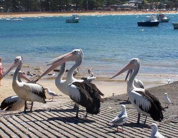 «Пеликаны спокойно стояли друг за другом, достойно дожидаясь своей порции». Фото предоставлено автором