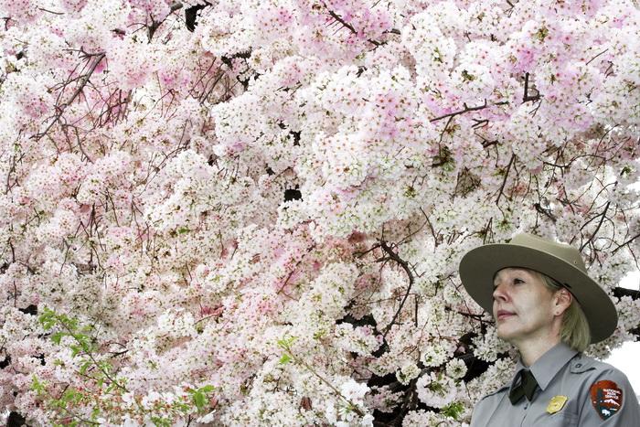 Фестиваль цветущей сакуры пройдет в Вашингтоне. Фото: RICHARDSPAUL J. RICHARDS/AFP/GettyImages