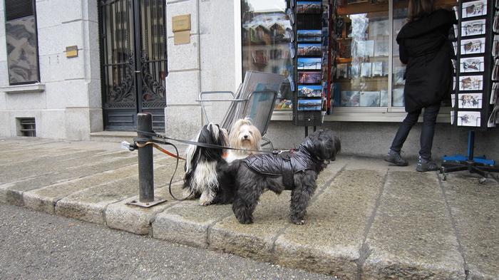 Шамонийские собаки. Фото: Надежда Калинина/Великая Эпоха (The Epoch Times)