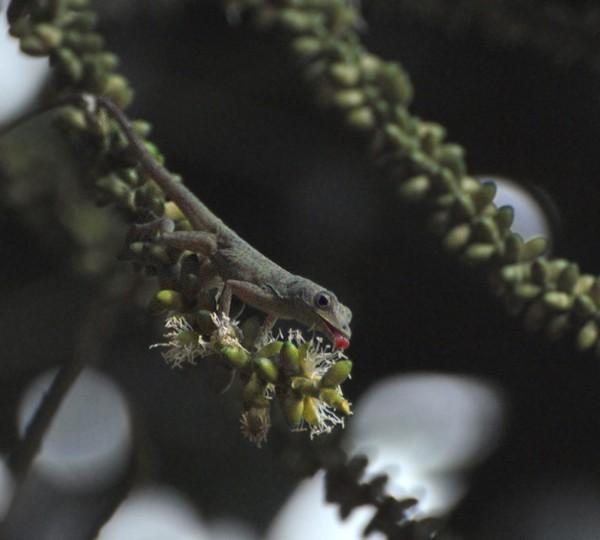 Джорджтаун. Гайана. Ящерка-колибри. Фото: Елизавета Кирина/tecnolux.ya.ru