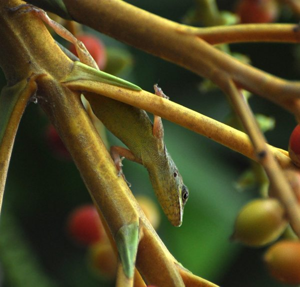 Джорджтаун. Гайана. Ящерка-древолаз. Фото: Елизавета Кирина/tecnolux.ya.ru
