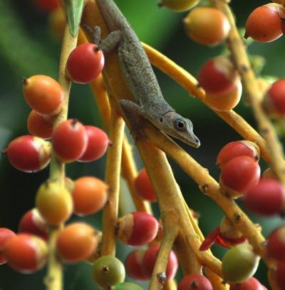 Джорджтаун. Гайана. Ящерица среди плодов пальмы.  Фото: Елизавета Кирина/tecnolux.ya.ru
