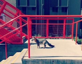 Лиса на лестнице на территории штаб-квартиры Facebook , Менло парк, штат Калифорния. Фото: Richard Zad