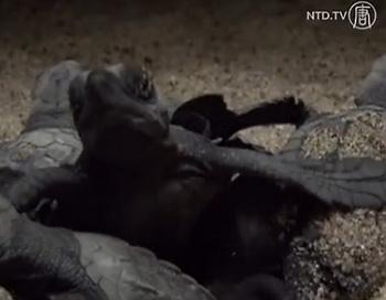 Новорождённые оливковые черепахи в Мексике. Фото: NTD Television