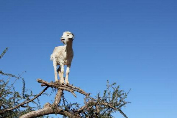 Чудо-козы в пустыне Сахара. Фото: news.zhengjian.org