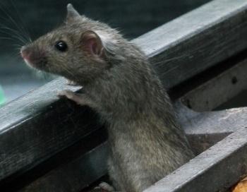Согласно последним генетическим исследованиям, домовые мыши, путешествуя на кораблях викингов, распространились настолько далеко, что достигли Гренландии. Фото: 4028mdk09/Wikimedia Commons